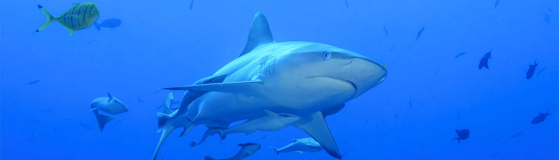 Tauchen mit Haien auf den Malediven