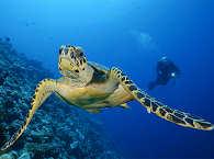 Schildkröte am Außenriff – Tauchsafari Malediven