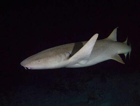 Tauchen mit Haien – MY Sheena Malediven
