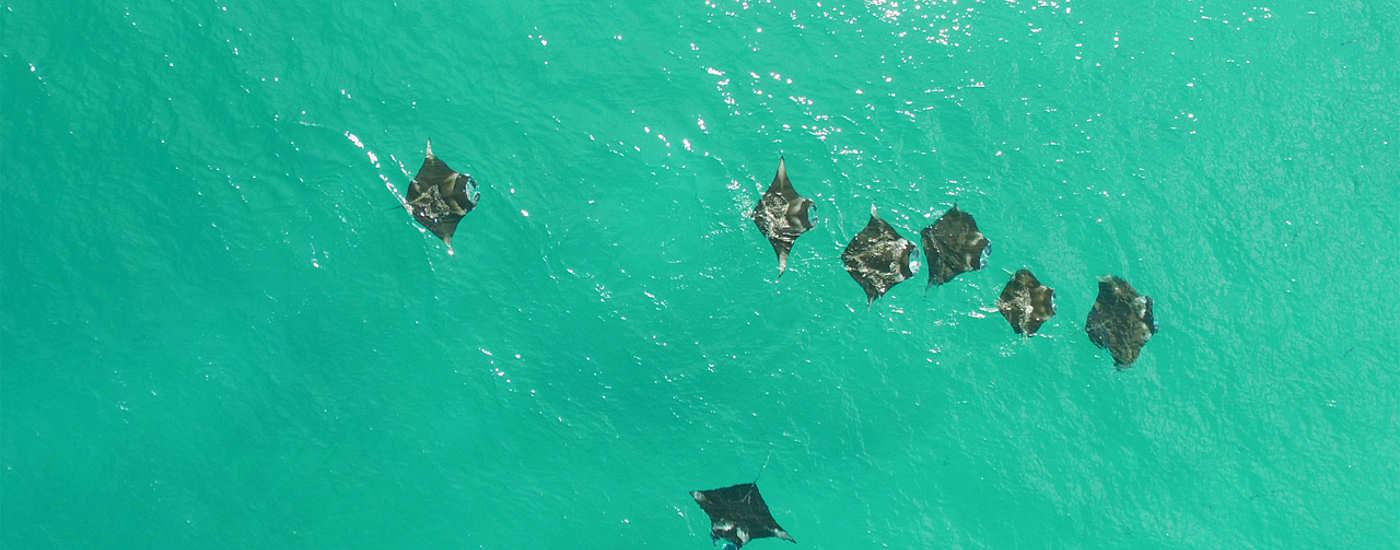 Tauchen mit Mantas – Malediven-Tauchsafari