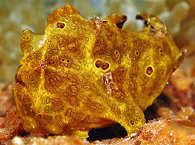 Antennarius pictus Romblon
