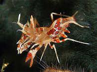 Phyllognathia ceratophthalma (Tiger Shrimp)