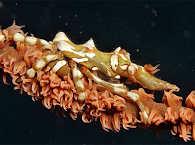 Makrotauchen Romblon