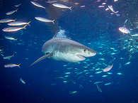 Weißer Hai Guadalupe
