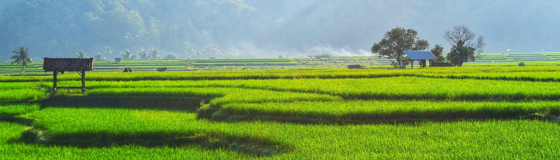 Reisterfelder der Minahasa Highlands