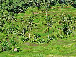Reisterrassen im Minahasa Hochland auf Sulawesi