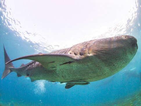 Walhaie vor der Küste der Insel Cebu – Tauchen Philippinen