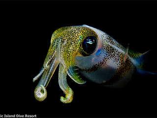 Oktopus vor Moalboal – Philippinen