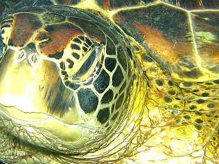 Schildkröte – White Beach Divers, Malapascua