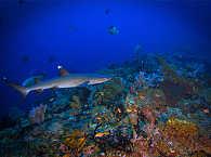 Hai-Tauchen in den Molukken