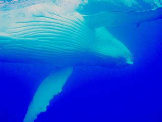 Moorea Tauchen mit Buckelwalen – Französisch Polynesien