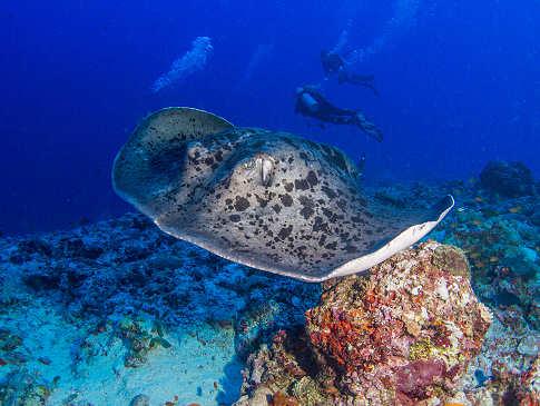 Tauchen mit Mantas – Tauchreisen Malediven