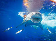 Tauchen mit dem Weißen Hai, Guadalupe Mexiko