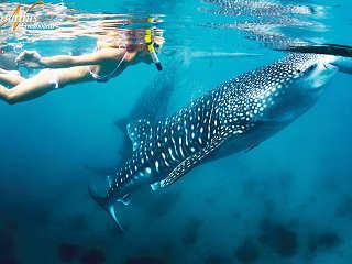 Schnorcheln mit Walhaien