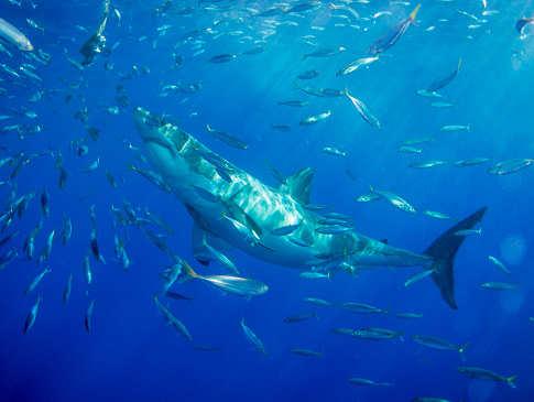 Tauchen mit Haien Mexiko – Guadalupe und Socorro