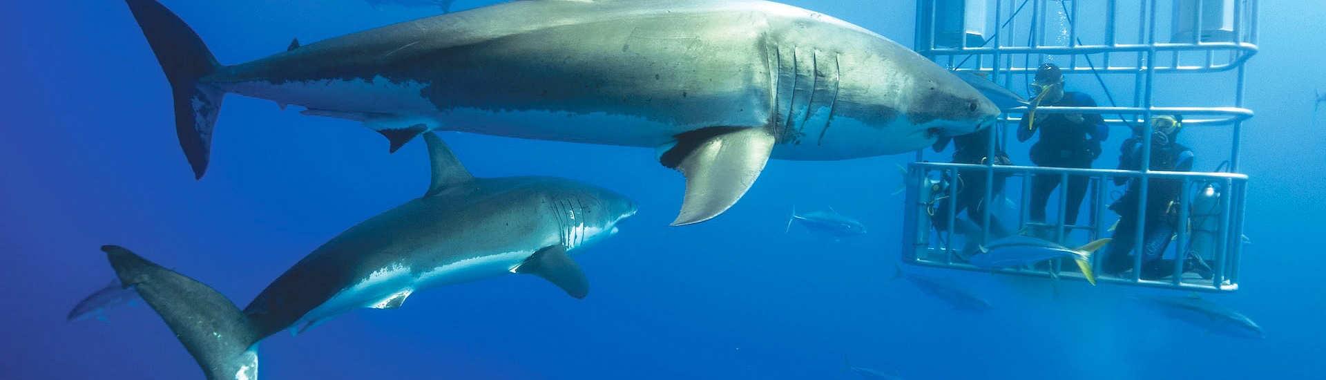 Weiße Haie beim Tauchen vor Guadalupe
