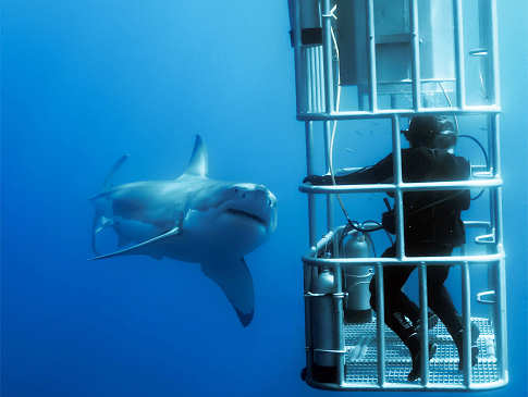 Käfigtauchen mit Weißen Haien