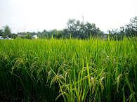 Reisfelder im Minahasa Hochland auf Sulawesi