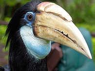 Nashornvogel – Papua Neuguinea