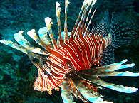 Rotfeuerfisch – Cebu, Philippinen