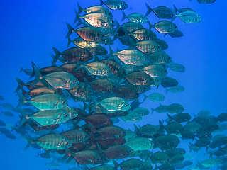 Fischschwärme – Franz. Polynesien