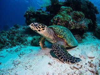 Schildkröte – Tauchen in Raja Ampat, Indonesien