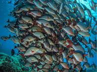 Fischschwärme – Tauchen in Rangiroa