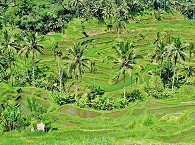 reisfelder-bali-indinesien-17