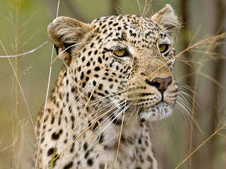 Leopard im Kruger Nationalpark – Südafrika