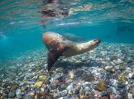 Helden der Sea of Cortez – die Seelöwen