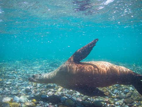 Seelöwen – die Helden der Sea of Cortez