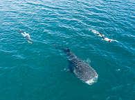 Schnorcheln mit Walen