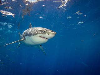 Tauchen mit dem Weißen Hai