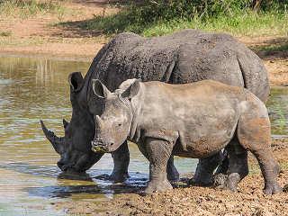 Nashorn mit Jungen – Safaris Kruger Nationalpark