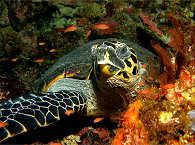 Schildkröte – Tauchen in Molukken