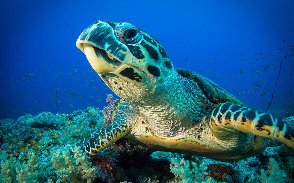 Schildkröte vor Siladen