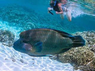 Napoleon Lippfisch – Franz. Polynesien