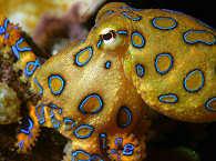 Siladen Tauchen / Squid