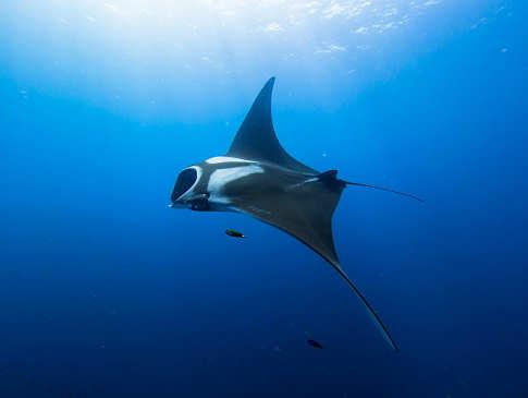 Socorro -Tauchen mit Mantas, Haien und Delphinen