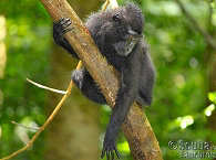Schwarzer Makake – Tangkoko Nationalpark