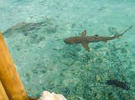 Hai in der Lagune des Tetamanu Village