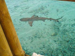 Schwarzspitzen Riffhai in der Lagune – Fakarava