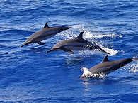 Delfine vor Mindoro