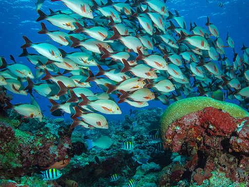 Fischschwärme – Tauchen Malediven