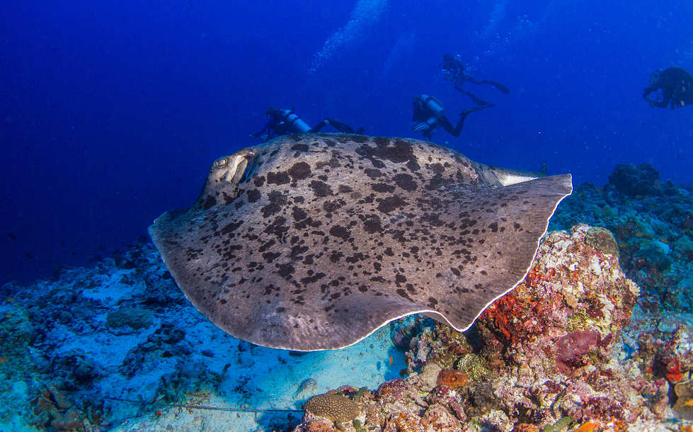 Tauchen mit Mantas – Malediven