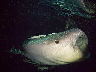 Walhai-Tauchen Malediven