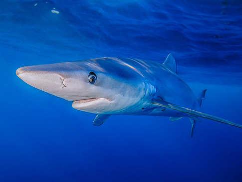 Tauchen mit Blauhaien auf den Azoren