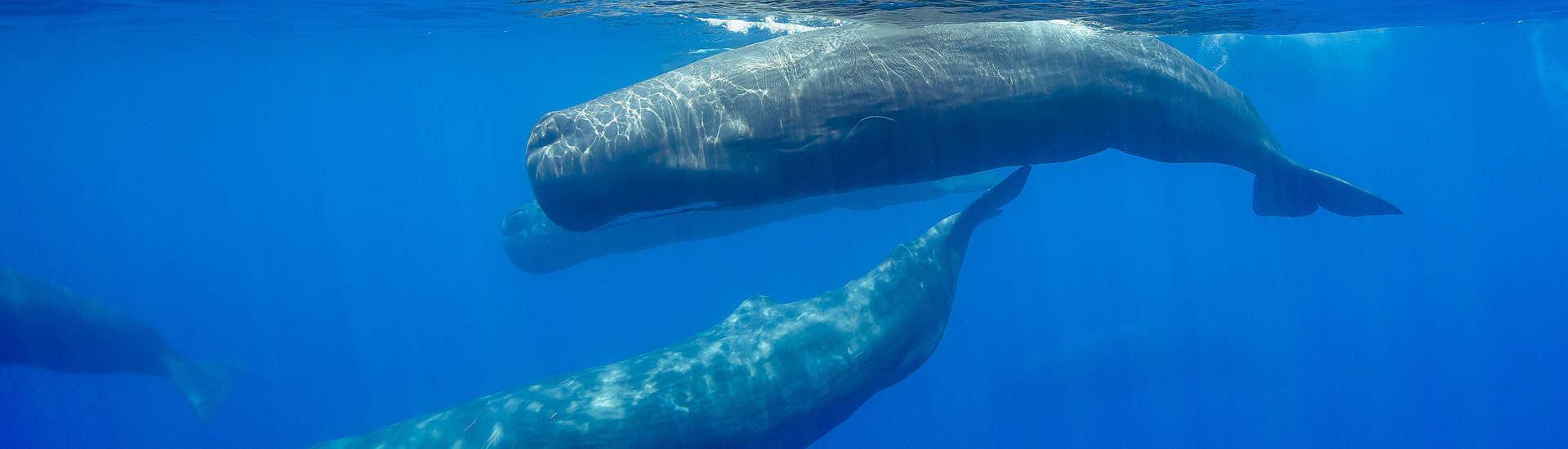Pottwal (Sperm Whale) – Whalewatching und Tauchen Azoren