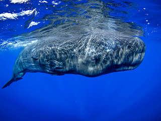 Whalewatching und Tauchen Azoren – gigantischer Pottwal bem Lufthohlen