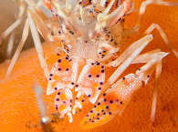 Tiger Shrimp – Seraya Secrets, Bali